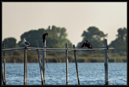 Grand Cormoran se séchant les ailes