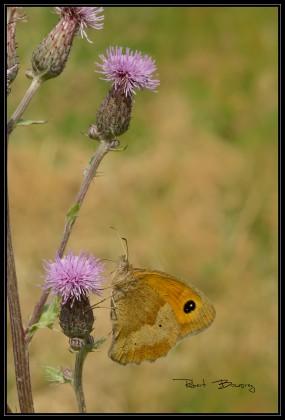coenonympha dorus(le fadet des garrigues)