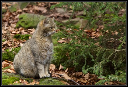 CHAT SAUVAGE-ELLE-