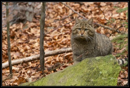CHAT SAUVAGE-LUI-