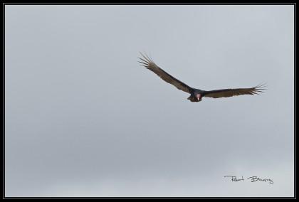 urubu à tête rouge- vautour