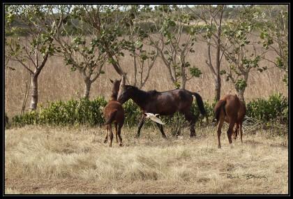 chevaux-aigrette