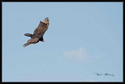 urubu à tête rouge-vautour