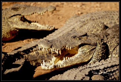CROCO_belle dentition .