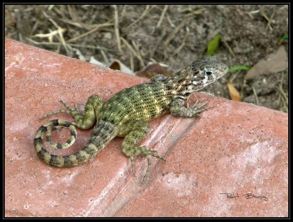 LAGARTO_lezard local