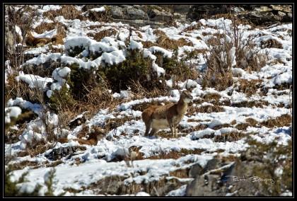 mouflon.