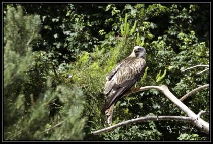 oiseaux-rapace