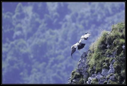 vautour moine