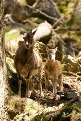mouflon-la mère et son petit