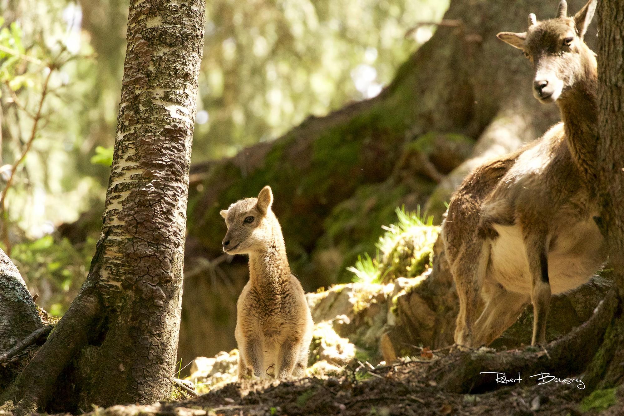 mouflon-mère et son petit