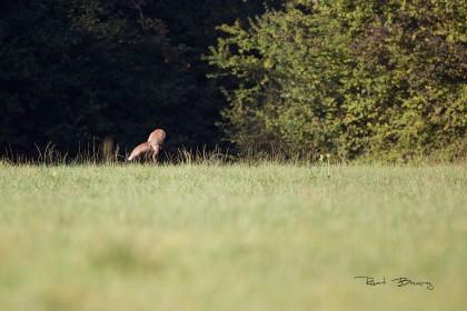 Renard à la chasse