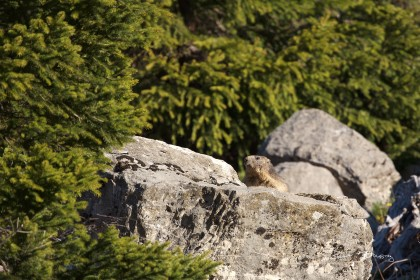 Marmotte -